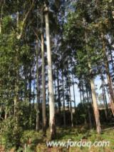 Rosegum Eucalyptus Grandis Saw Logs, 35-80 cm