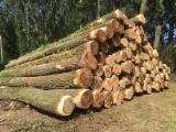 Poplar Peeling Logs, A/B, 3-11.70 m