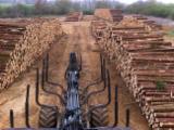Spruce Saw Logs, 2.4-20 m