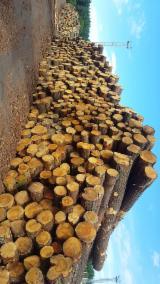Vender Troncos Serrados Pinus - Sequóia Vermelha Lituânia