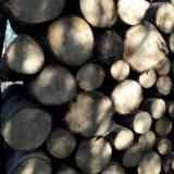 锯木, 白杨木