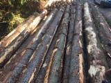 Spruce Saw Logs, BC Grade, 25+ cm