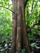 Endüstriyel Tomruklar, Tik Ağacı