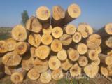 Schnittholzstämme, Buche