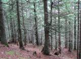 Spruce 20-40 mm B Saw Logs Romania