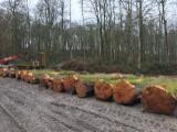 Vender Troncos Descascados Faia Bélgica Nord / Pas-de-Calais