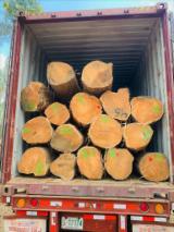 We Sell Teak Logs, 100+ mm