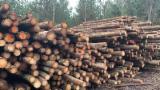 Техсировина, Elliotis Pine , Сосна Ладанна