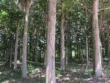 null - Paulownia veneer logs