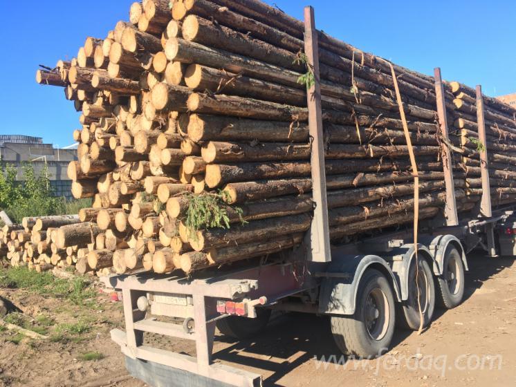 K%C5%82ody-Tartaczne--Sosna-Zwyczajna---Redwood