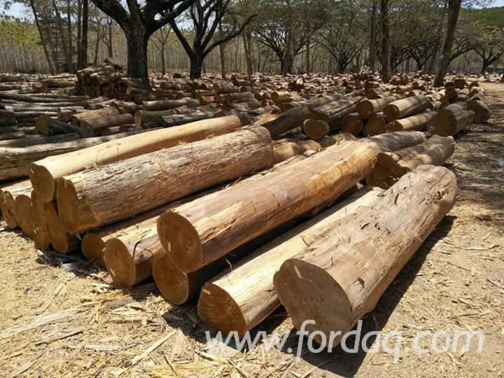 Fresh-Sawn-Teak-Tali-Logs