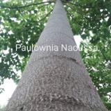 null - Paulownia Logs for Sale, 26-37 cm Diameter