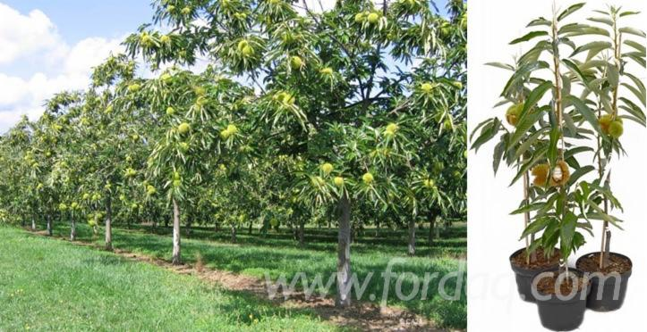 We-are-looking-for-sweet-chestnut-seedlings-%28Castanea