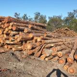 null - Gum/Mahogany Logs, #1 Veneer Logs Quality