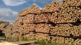 null - FSC Birch Industrial Logs, 6-60 cm Diameter