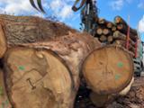 null - Oak Sawn Logs, 40+ cm Diameter