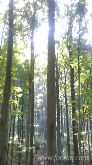 Forest-101-Ha-Beech-120-years