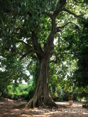 Vender-Bosques-Iroko-Congo