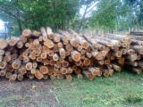 Standing Timber - Standing Timber from Panama