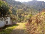 Brazil, Pine (Pinus sylvestris) - Redwood