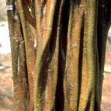 墨西哥 - Fordaq 在线 市場 - 锯木, 樟木